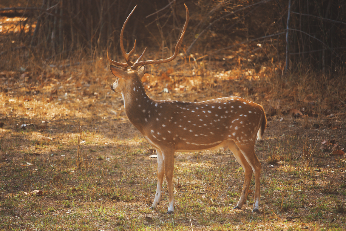 Spotted Deer in Bandhavgarh