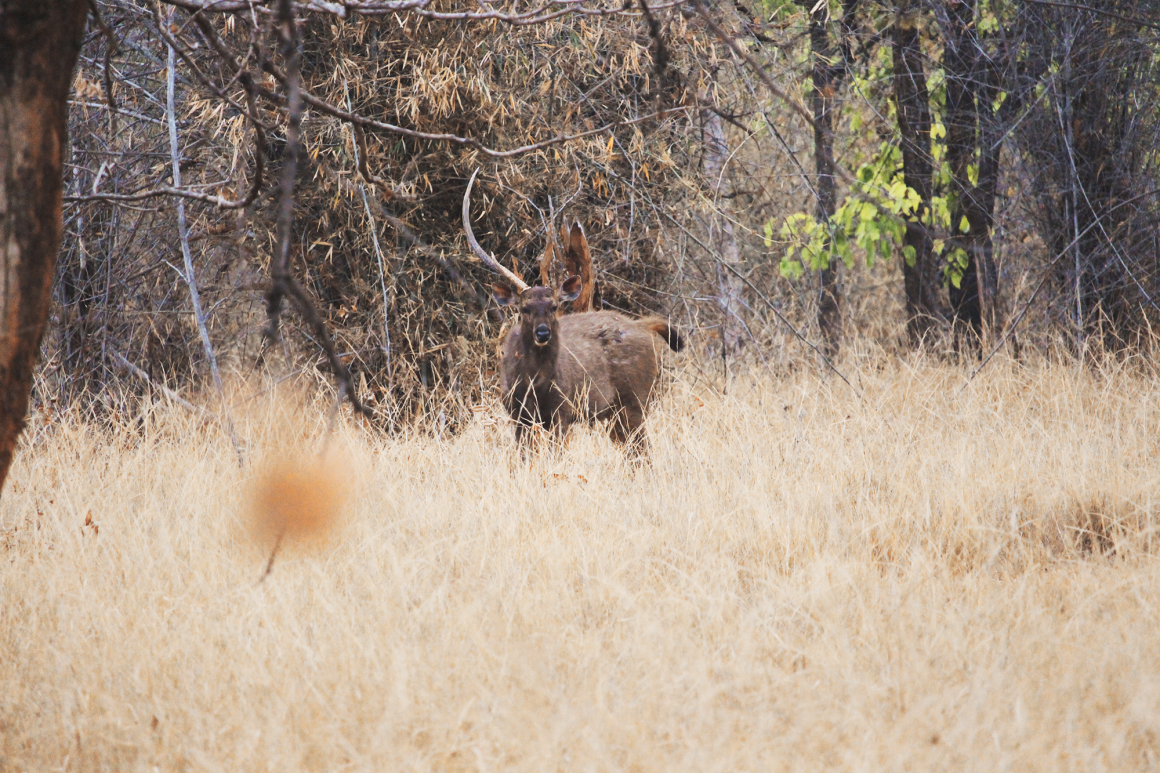 Deer in Bandhavgarh