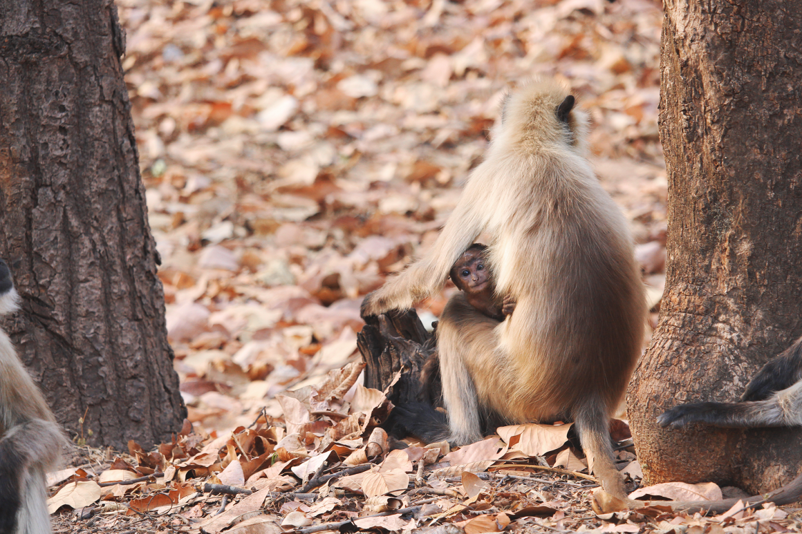 Monkey and baby in India