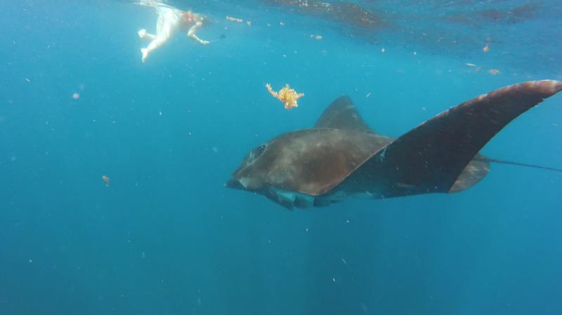 manta ray holbox